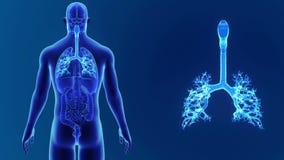 Zoom della trachea con gli organi royalty illustrazione gratis