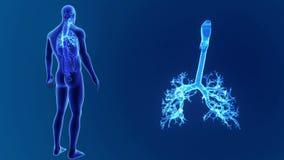 Zoom della trachea con gli organi illustrazione di stock