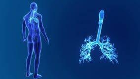 Zoom della trachea con gli organi e l'apparato circolatorio illustrazione vettoriale
