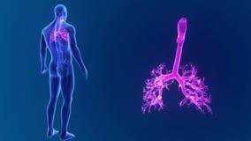 Zoom della trachea con gli organi e l'apparato circolatorio royalty illustrazione gratis