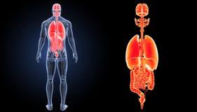 Zoom der menschlichen Organe mit Anatomierückansicht Lizenzfreie Stockfotografie