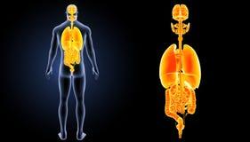 Zoom der menschlichen Organe mit Körperrückansicht Lizenzfreie Stockbilder