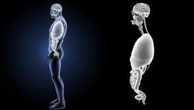 Zoom der menschlichen Organe mit Körperseitenansicht stockbild