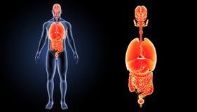 Zoom der menschlichen Organe mit Körpervorderansicht Lizenzfreie Stockfotos