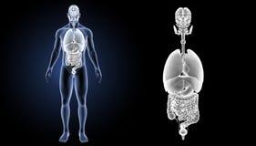 Zoom der menschlichen Organe mit Körpervorderansicht Lizenzfreies Stockfoto