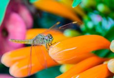 Zoom of Dragonfly Royalty Free Stock Images
