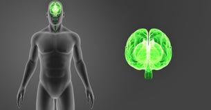 Zoom för mänsklig hjärna med föregående sikt för kropp Fotografering för Bildbyråer