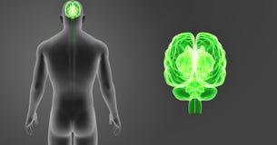 Zoom för mänsklig hjärna med senare sikt för kropp Arkivfoton