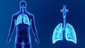 Zoom för respiratoriskt system med kroppen arkivfilmer