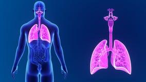 Zoom för respiratoriskt system med organ arkivfilmer