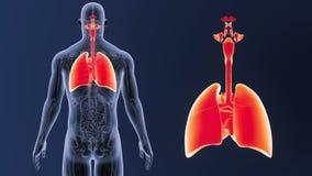 Zoom för respiratoriskt system och hjärtamed anatomi royaltyfri illustrationer
