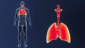 Zoom för respiratoriskt system och hjärtamed anatomi stock video