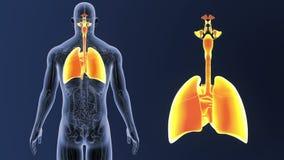 Zoom för respiratoriskt system och hjärtamed anatomi vektor illustrationer