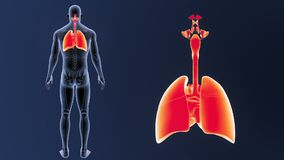 Zoom för respiratoriskt system och hjärtamed den skelett- kroppen arkivfilmer