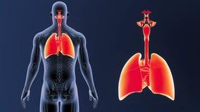 Zoom för respiratoriskt system och hjärtamed den skelett- kroppen stock video