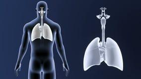 Zoom för respiratoriskt system och hjärtamed kroppen arkivfilmer