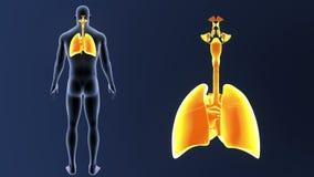 Zoom för respiratoriskt system och hjärtamed kroppen stock video