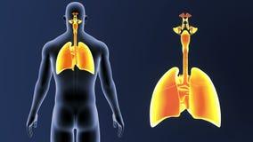 Zoom för respiratoriskt system och hjärtamed kroppen lager videofilmer