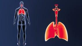 Zoom för respiratoriskt system och hjärtamed organ arkivfilmer
