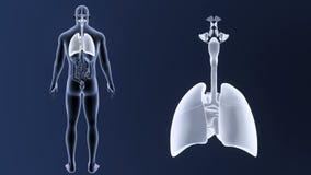 Zoom för respiratoriskt system och hjärtamed organ lager videofilmer