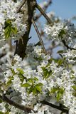 Zoom into fully blooming cherry tree in the spring sun stock image