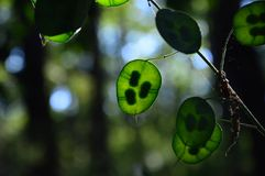 Zoom on a green Lunaria plante