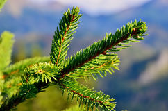 Pine tree twig. Zoom green needle in forest royalty free stock photo