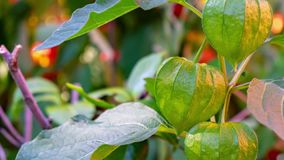 Zoom in on a green physalis. Close-up stock footage