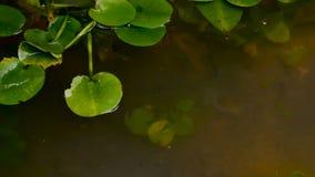 Zoom heraus schließen herauf grünes Lotosblatt im Sumpf stock footage