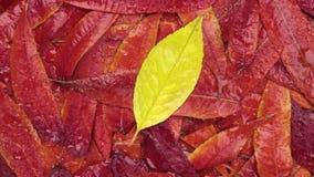 Zoom i obracanie jesieni ulistnienie w rosa kroplach zbiory wideo