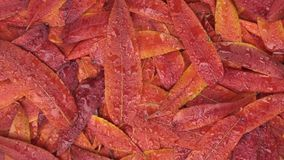 Zoom i obracanie jesieni ulistnienie w rosa kroplach zbiory