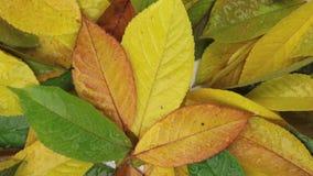 Zoom i obracanie jesieni ulistnienie w rosa kroplach zdjęcie wideo