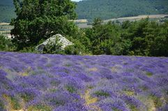 Zoom on Lavenders in Provence,france royalty free stock photo