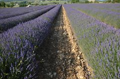Lavenders in the south of france, provence,sault. Zoom on Lavenders in the south of france, provence,sault Royalty Free Stock Images