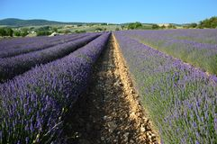 Lavenders in the south of france, provence,sault. Zoom on Lavenders in the south of france, provence,sault Royalty Free Stock Image