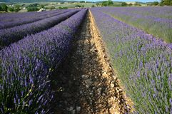Lavenders in the south of france, provence,sault. Zoom on Lavenders in the south of france, provence,sault Royalty Free Stock Photo