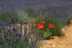 Lavenders in the south of france, provence,sault. Zoom on a Lavendres field in the souht of france,provence,sault Stock Photography