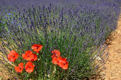 Lavenders in the south of france, provence,sault. Zoom on a Lavendres field in the souht of france,provence,sault Royalty Free Stock Photos