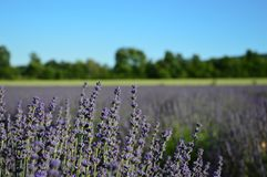 Lavenders in the south of france, provence,sault. Zoom on a Lavendres field in the souht of france,provence,sault Royalty Free Stock Image
