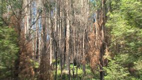 Zoom-out, burned trees, Dandenong ranges, Australia, nature, tree, trees, burned stock video