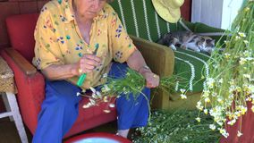 Elderly herbalist woman gather medical herb camomile country. 4K. Zoom out of elderly herbalist woman gather little medical herbs camomile in country. 4K UHD stock footage