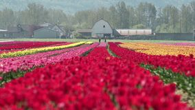 Colorful Tulips in the Field zoom 4K UHD. A zoom out of a field of tulips in the sunshine. 4K. UHD stock video