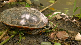 Zoom out land turtles sleep on ground near stream 4k footage stock footage