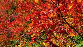 Zoom out view of colorful Maple leaves of autumn season