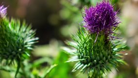 Zoom in on a purple thistle. Zoom in on a beautiful purple thistle stock video