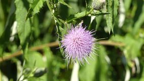 Georgia in Summer, A zoom in on a purple thistle growing along the Chattahoochee River stock video footage