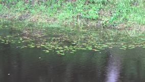 Rain drops fall on rural pond overgrown with green creeper. 4K. Zoom in of rain drops fall on rural pond overgrown with green creeper.  4K UHD video clip stock video footage