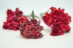 Zoom red carnations some flower fresh but some flower wilted. Three red carnations isolated white background. Some flower is blooming but some flower dry royalty free stock photography