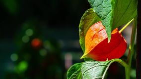 Zoom in on a red physalis. Close-up stock video footage