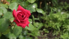 Zoom of the red rose in dew drops. stock video